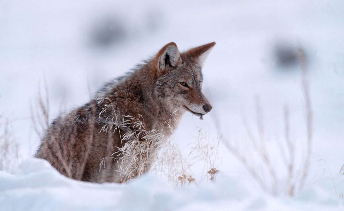 Also, be sure not to make food available to them: Don't feed pets outside. Secure garbage and compost. And get rid of bird seed, which attracts the small animals that coyotes hunt.