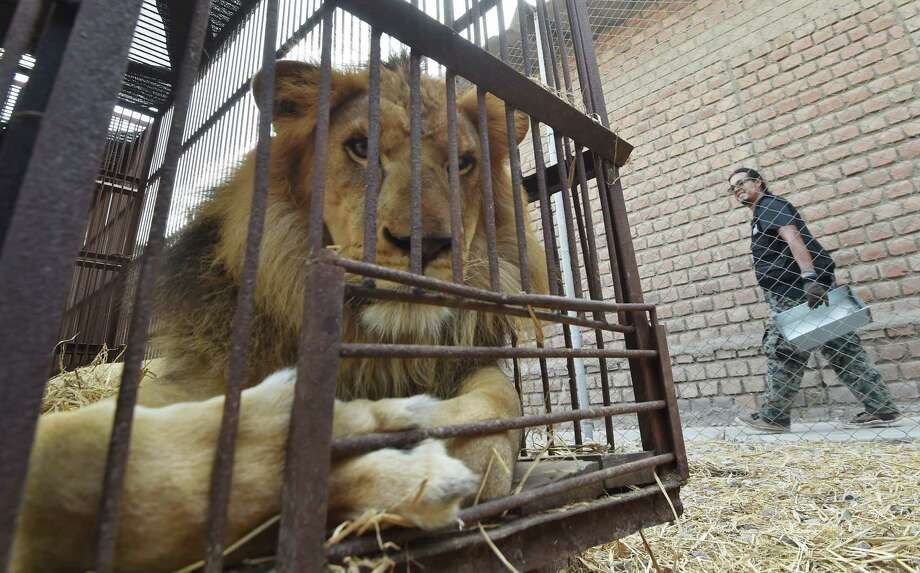 African lions born in captivity in Peru are caged prior to being airlifted to Johannesburg, South Africa, by Animal Defenders International.  Photo: CRIS BOURONCLE, Staff / AFP or licensors