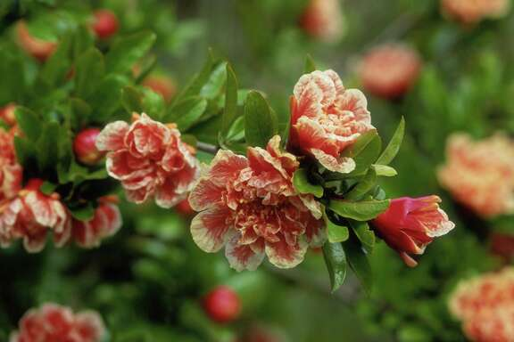 Beautiful flowers give way to nutritious fruit on the pomegranate shrub.