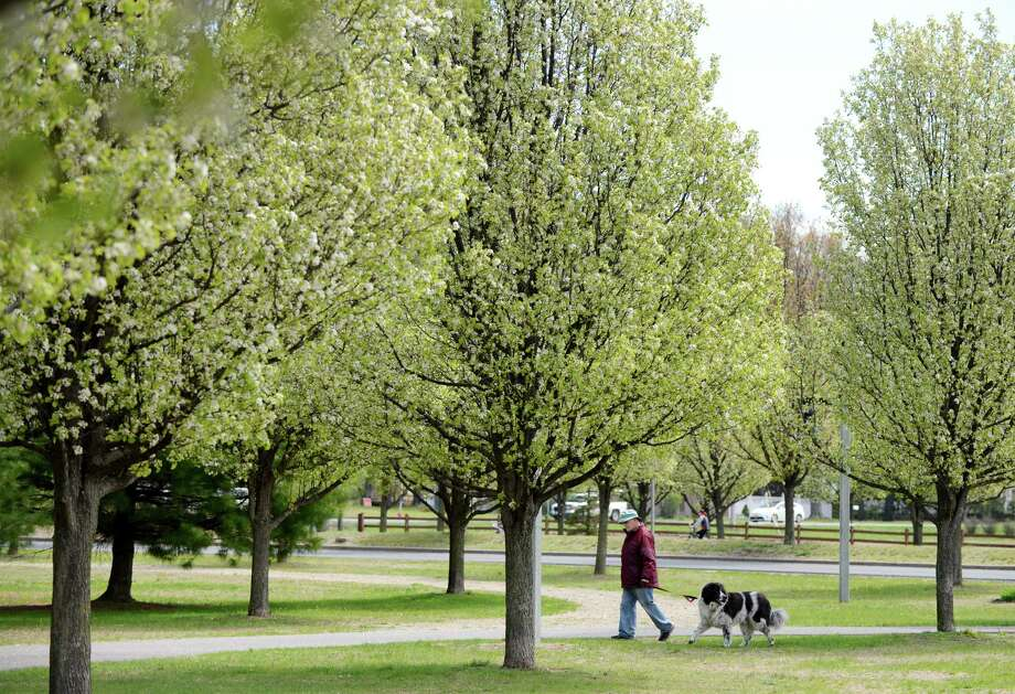 Bradford Pear blossoms at the Crossings on Friday, April 29, 2016, in Colonie, N.Y. (Will Waldron/Times Union) Photo: Will Waldron