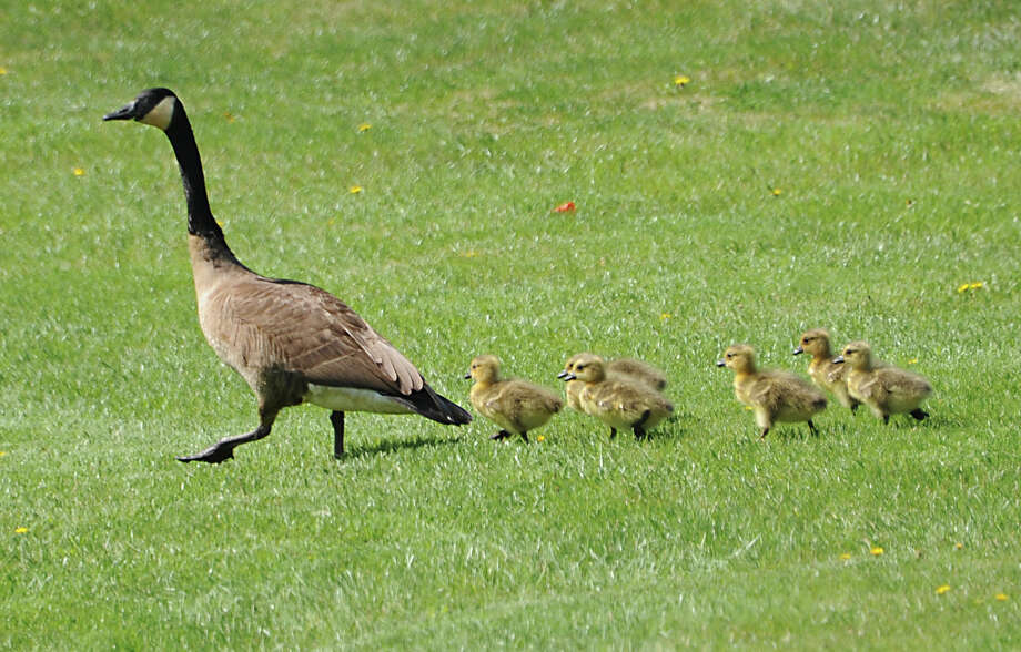 A goose leads its goslings to water for a swim in a pond in front of the William K. Sanford Town Library on Friday, April 29, 2016 in Colonie, N.Y. (Lori Van Buren / Times Union) Photo: Lori Van Buren