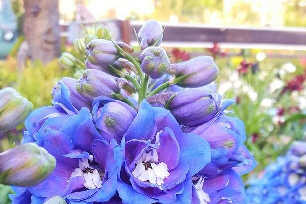 Blue delphinium at �Sloat Garden Center.