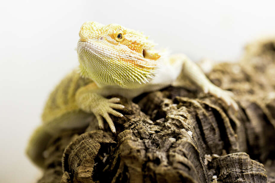 The bearded dragon shows stages of sleep similar to those in mammals, suggesting the stages evolved earlier than scientists thought. They have 350 80-second cycles per night; humans have four or five 90-minutes ones.  Photo: STEPHAN JUNEK/MAX PLANCK INSTITUTE FOR BRAIN RESEARCH, HO / DR STEPHAN JUNEK/MAX PLANCK INSTITUTE FOR BRAIN RESEARCH