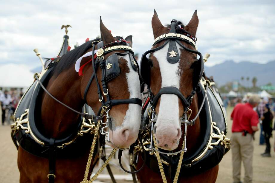 The Budweiser Clydesdales are wearing blinders for good reason. Photo: Getty Images
