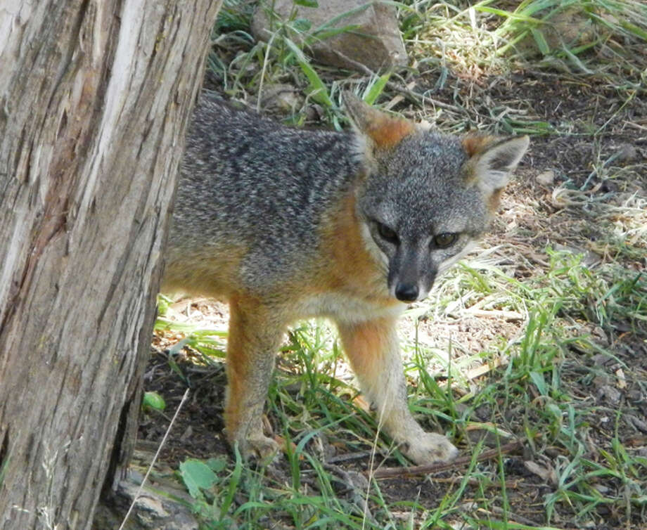 A house-cat-sized island fox checks out visitors in Channel Islands National Park. Scientists are intrigued by the lack of genetic variation among the animals. Photo: San Francisco Chronicle File Photo / ONLINE_YES
