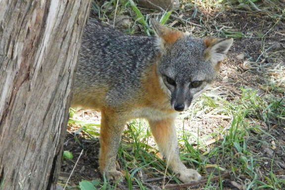 A house-cat-sized island fox checks out visitors in Channel Islands National Park. Scientists are intrigued by the lack of genetic variation among the animals.