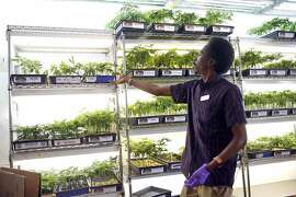 De'Leon Haley works at the marijuana plant counter at Harborside in Oakland, Calif., on monday, May 2, 2016.