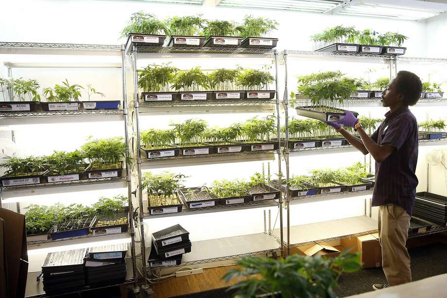 De'Leon Haley stacks pot plants at Harborside Health Center. A proposed plan would give people of color in Oakland a greater role in the marijuana business. Photo: Scott Strazzante, The Chronicle