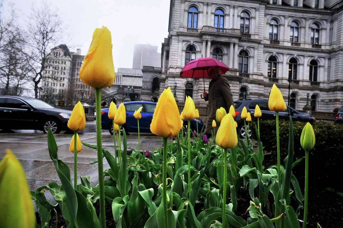 Rain falls on tulips and people along Washington Ave. on Monday, May 2, 2016, in Albany, N.Y. (Paul Buckowski / Times Union)