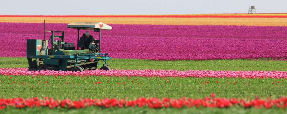 A harvester cuts tulips on a field of a company near Blumenberg, Germany, Monday, May 2, 2016. The spring flower is cultivated not for its colorful blossoms, but for the tulip onions used by small and big scale gardeners. (Jens Wolf/dpa via AP) Photo: Jens Wolf, SUB / dpa