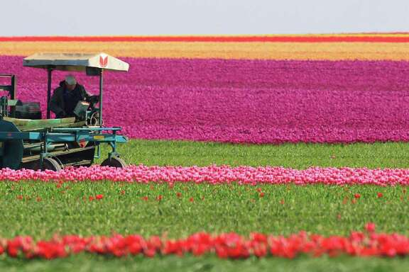 A harvester cuts tulips on a field of a company near Blumenberg, Germany, Monday, May 2, 2016. The spring flower is cultivated not for its colorful blossoms, but for the tulip onions used by small and big scale gardeners. (Jens Wolf/dpa via AP)