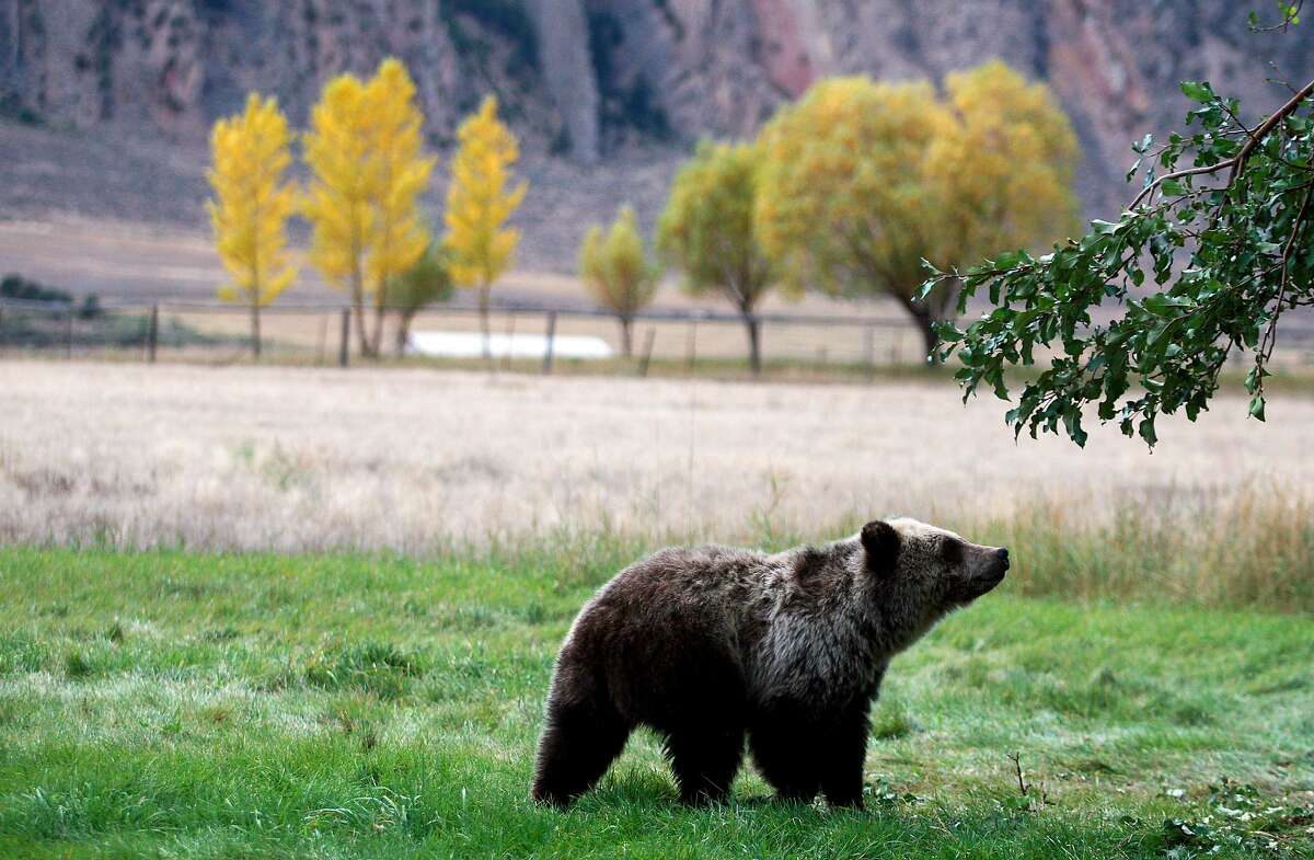 FILE - In this Sept. 25, 2013 file photo, a grizzly bear cub searches for fallen fruit beneath an apple tree a few miles from the north entrance to Yellowstone National Park in Gardiner, Mont.