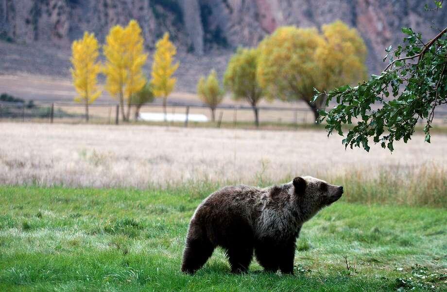 FILE - In this Sept. 25, 2013 file photo, a grizzly bear cub searches for fallen fruit beneath an apple tree a few miles from the north entrance to Yellowstone National Park in Gardiner, Mont. Photo: Alan Rogers, AP