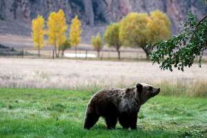 FILE - In this Sept. 25, 2013 file photo, a grizzly bear cub searches for fallen fruit beneath an apple tree a few miles from the north entrance to Yellowstone National Park in Gardiner, Mont. Federal officials will propose on Thursday, March 3, 2016, to lift Endangered Species Act protections for grizzly bears in and around Yellowstone National Park, opening the door to state-sponsored hunting of the animals following their decades-long recovery from widespread extermination.(Alan Rogers/Casper Star-Tribune via AP, File) /The Casper Star-Tribune via AP) MANDATORY CREDIT
