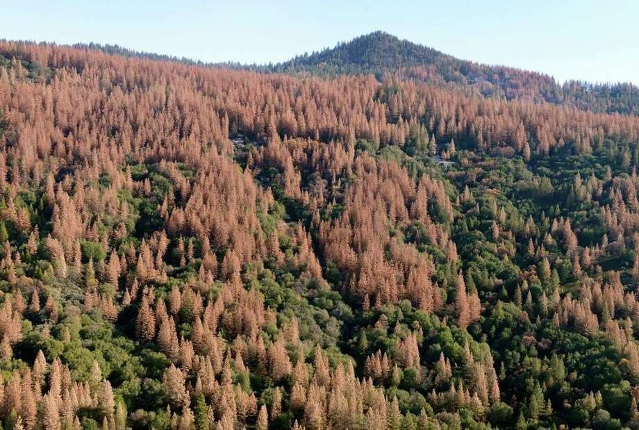 Large patches of dead and dying trees are seen in the Sierra Nevada mountains from a helicopter tour Tuesday, Dec. 1, 2015. Mostly ponderosa and sugar pine trees are dying off in large numbers around Bass Lake and throughout the Sierra Nevada due to a bark beetle infestation brought about by four years of extreme drought in California. Photo: Craig Kohlruss