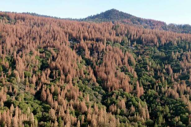 Large patches of dead and dying trees are seen in the Sierra Nevada mountains from a helicopter tour Tuesday, Dec. 1, 2015. Mostly ponderosa and sugar pine trees are dying off in large numbers around Bass Lake and throughout the Sierra Nevada due to a bark beetle infestation brought about by four years of extreme drought in California.
