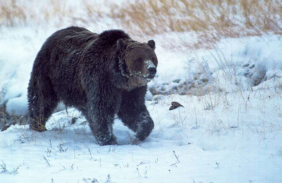 """Wildlife officials confirmed that this Yellowstone grizzly bear known as """"Scarface"""" was shot and killed by a hunter last fall during a confrontation. Photo: Ray Paunovich, HONS / Ray Paunovich"""