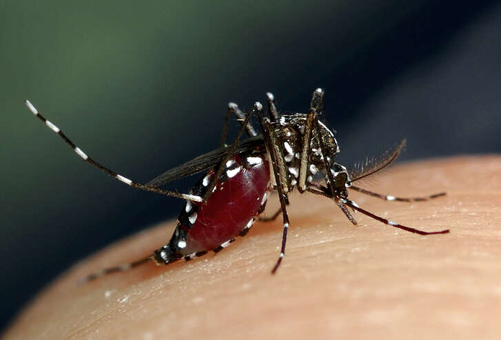 The Aedes albopictus mosquito, which could be linked to the transmission of Zika virus. Though the mosquito that primarily spreads Zika, Aedes aegypti, isn't likely to make its way here, experts said Aedes albopictus has turned up in the state before.