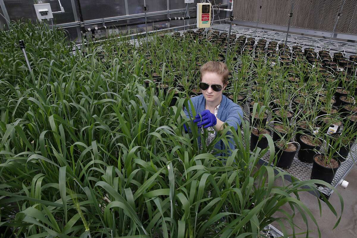 Greenhouse manager Marianne Maddeford tends to wheat plants inside their research greenhouse at Mendel Biotechnology on Tues. May 3, 2016, in Hayward, California. A subsidiary of Koch Agronomic Services LLC (KAS) has purchased the biological research and development business of Mendel Biotechnology Inc.