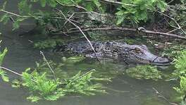 An American alligator spotted May 1 on the Guadalupe River north of Spring Branch.