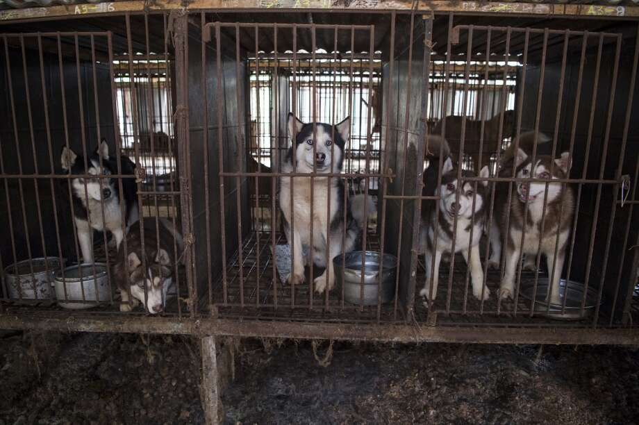 Dogs rescued from a Korean dog meat farm will be up for adoption in Dallas. Photo: Meredith Lee
