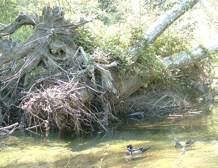 A mated pair of wood ducks captured in photograph at Point Reyes National Seashore with wildlife cam that biologists positioned along wildlife corridor