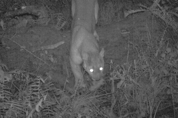 Mountain lion peers up at wildlife cam in night photograph captured at Point Reyes National Seashore