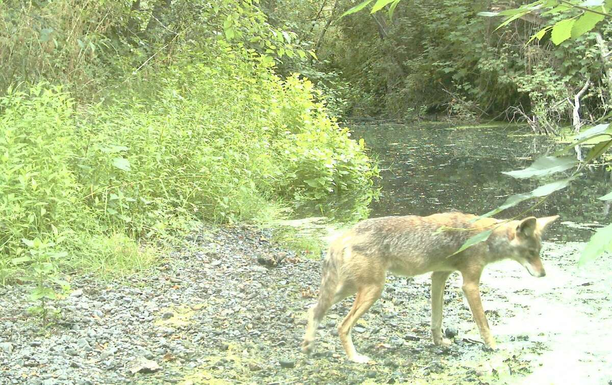 At Olema Creek at Point Reyes National Seashore, coyote captured in photograph with wildlife cam