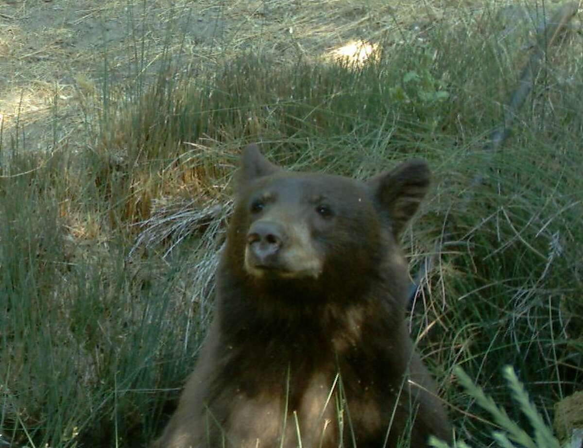 With motion-activated wildlife camera, Jo Ann Herr captured this photograph of a curious bear in a wildlife corridor