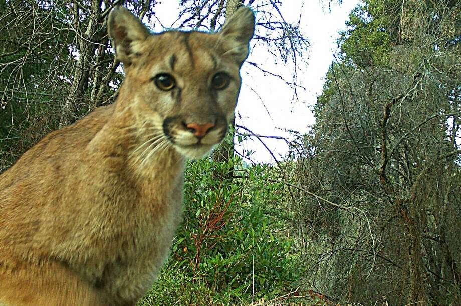 Wildlife cam in Santa Cruz Mountains captured this mountain lion that appears intoxicated by the click sound of the camera Photo: Katharina Pierini / Special To The Chronicle