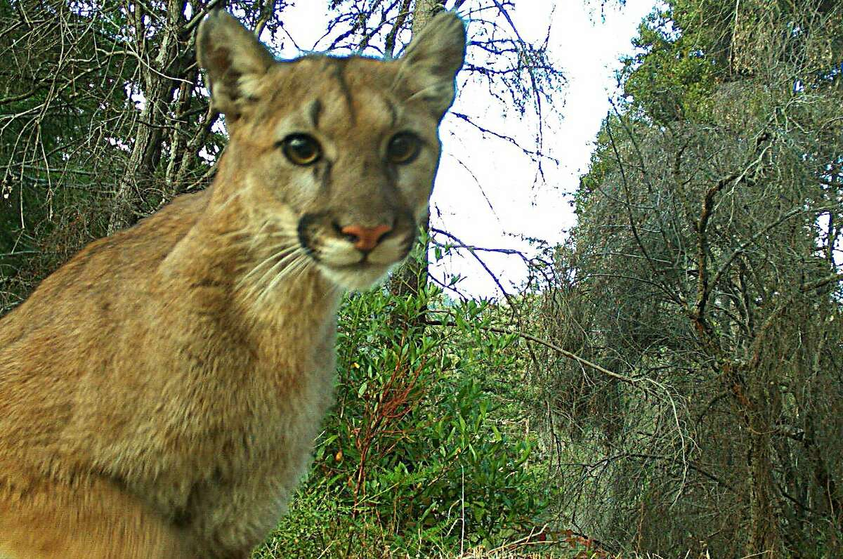 Wildlife cam in Santa Cruz Mountains captured this mountain lion that appears intoxicated by the click sound of the camera
