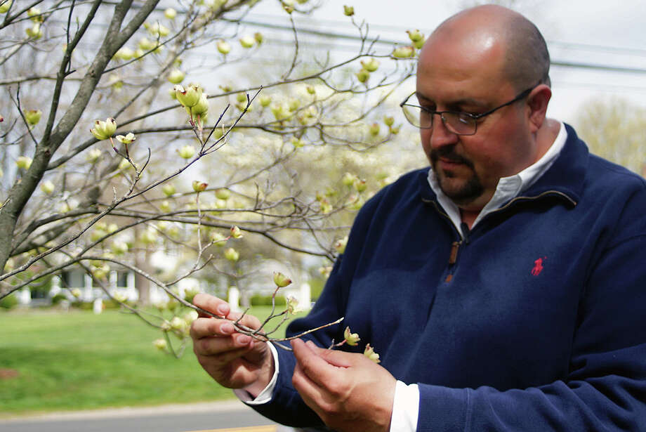 Tree Warden Jeffrey Minder checks out the iconic dogwood trees in Greenfield Hill the weekend before the annual Dogwood Festival. Minder pronounced the dogwoods to be in good health, and expected them to be in full bloom for the festival. Photo: Genevieve Reilly / Connecticut Hearst Media / Fairfield Citizen