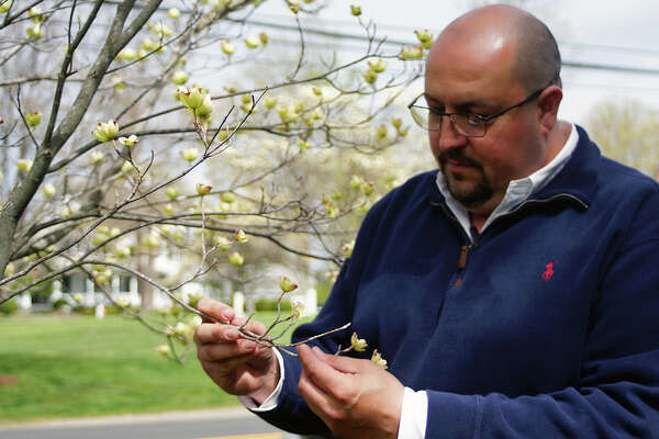 Tree Warden Jeffrey Minder checks out the iconic dogwood trees in Greenfield Hill the weekend before the annual Dogwood Festival. Minder pronounced the dogwoods to be in good health, and expected them to be in full bloom for the festival.