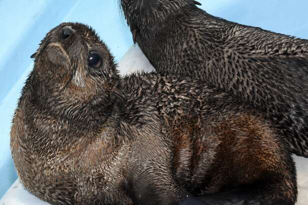 Two Northern fur seal pups have been relocated from the southern California coast to the Mystic Aquarium near the shore of Long Island Sound. The seal pups, named Pup XCu31 and Pup XCu32, had some kind of difficulties eating in the Pacific Ocean. If the two seals were released into the Pacific Ocean, it's likely they wouldn't survive.
