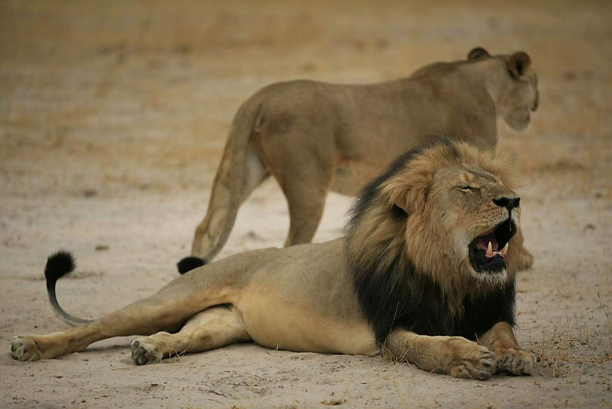 """(FILES) - This handout picture taken on October 21, 2012 and released on July 28, 2015 by the Zimbabwe National Parks agency shows a much-loved Zimbabwean lion called """"Cecil."""" US authorities launched an investigation on July 31, 2015 into the killing of the lion, as the American dentist who hunted the big cat remained in hiding amid mounting global outrage. Trophy hunter Walter Palmer killed Cecil the lion earlier this month after the feline was allegedly lured out of the Hwange National Park boundaries with a dead animal as bait. The professional Zimbabwean hunter who organized the hunt has been charged in Zimbabwe with """"failing to prevent an illegal hunt."""" AFP PHOTO / ZIMBABWE NATIONAL PARKS ==RESTRICTED TO EDITORIAL USE - MANDATORY CREDIT """"AFP PHOTO / ZIMBABWE NATIONAL PARKS"""" - NO MARKETING NO ADVERTISING CAMPAIGNS - DISTRIBUTED AS A SERVICE TO CLIENTS==-/AFP/Getty Images"""
