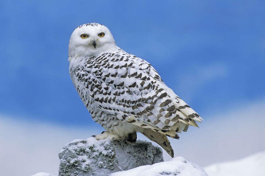 Snowy Owl (Nyctea scandiaca) at the Winter Raptor Fest Photo: Derek Middleton / Derek Middleton/ FLPA/Minden Pictures