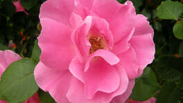 """Caption: """"Carefree Beauty,"""" introduced in 1977 by Griffith Buck, reappeared as a found rose, """"Katy Road Pink,"""" in the 1980s. credit: Molly Glentzer"""