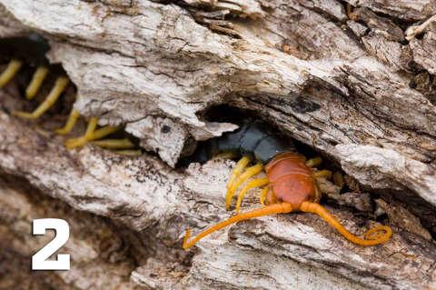 10 nightmarish facts to know about centipedes - San Antonio