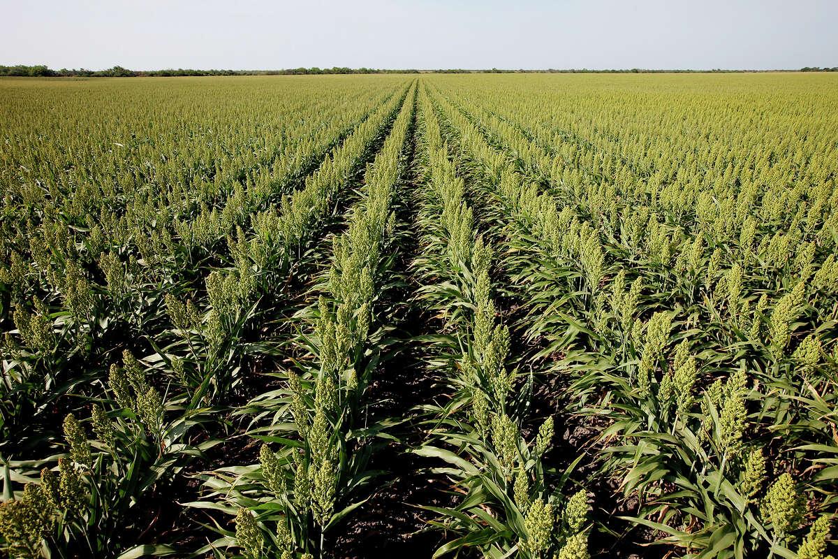 A sorghum field alongside the highway on the outskirts of San Fernando, Tamaulipas, Mexico.