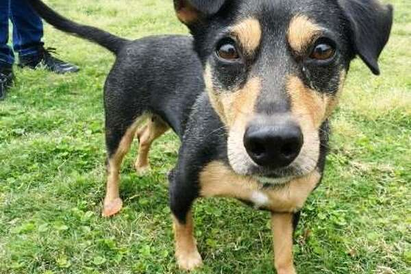 Lola will be available for adoption at 11 a.m. Friday at Citizens for Animal Protection, 17555 Interstate 10 W. More information: cap4pets.org or 281-497-0591.
