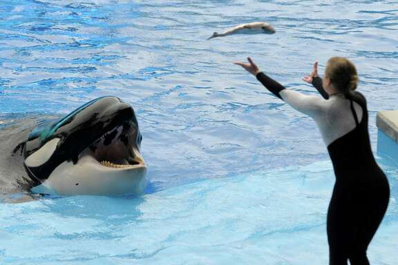 A SeaWorld trainer tosses a fish to an orca. SeaWorld has said it will end all orca breeding.