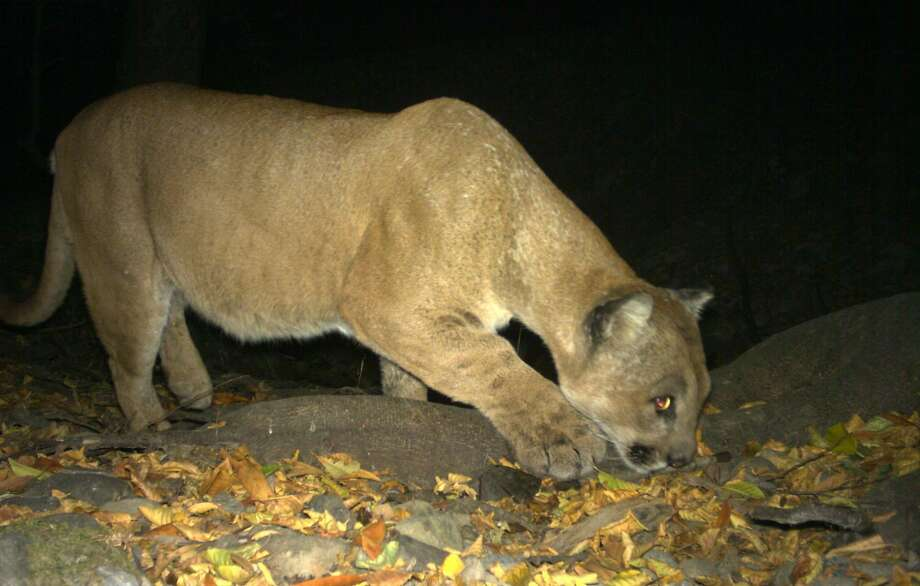 Lion on the prowl: A big male mountain lion, also called a puma or cougar, is captured with a wildlife cam positioned along a wildlife corridor in the East Bay Regional Park District Photo: Steve Bobzien / Special To The Chronicle