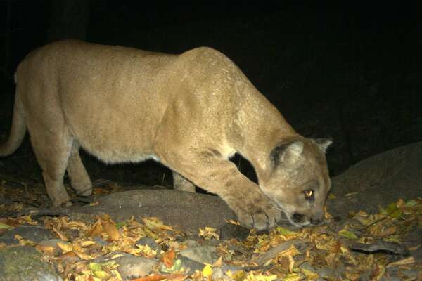 Lion on the prowl: A big male mountain lion, also called a puma or cougar, is captured with a wildlife cam positioned along a wildlife corridor in the East Bay Regional Park District