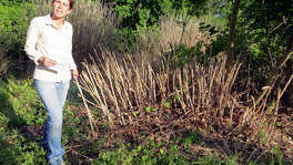 Katherine Romans, director of landowner outreach at the Hill Country Alliance, beside remains of an Arundo plant that was sprayed last September in Frantzen Park in Fredericksburg.