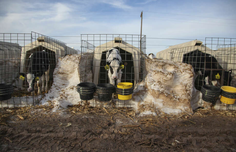 Snow remains between the pens of Holstein dairy calves that had to be dug out of their stalls after a blizzard the previous week, at Dutch Road Dairy near Muleshoe, Texas, Jan. 4, 2016. More than 35,000 dairy cows died after a two-day storm hit West Texas and New Mexico on Dec. 26, leaving farmers unable to reach them amid gusts of 80 miles per hour and 14-foot snow drifts. (Allison Terry/The New York Times) Photo: ALLISON TERRY