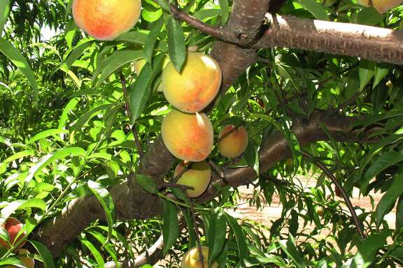 FILE - In this July 2013 file photo, peaches ripen on a branch at Chappell Farms orchard in Kline, S.C. A Clemson University expert said Thursday, March 10, 2016, that this year could be a record South Carolina crop because there was just enough cold weather during the winter for peach trees. South Carolina ranks second only to California nationally in peach production. (AP Photo/Jeffrey Collins, file)