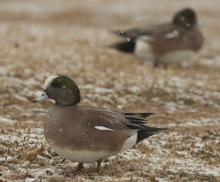Snow off a ducks back... Ducks shake off the snow as it falls Thursday morning, 1-22-15, at Wadley Barron Pond. Tim Fischer\Reporter-Telegram Photo: Tim Fischer
