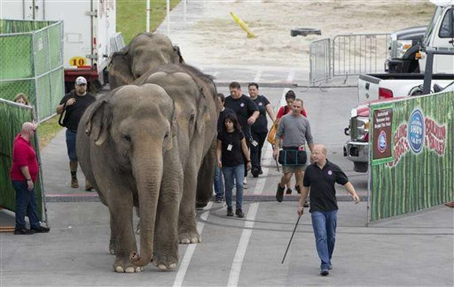 In this Friday, Jan. 8, 2016 photo, Asian elephants belonging to Ringling Bros. and Barnum & Bailey Circus, are lead from their enclosure to a rehearsal at the American Airlines Arena in Miami. The Ringling Bros. and Barnum & Bailey Circus is ending its elephant acts a year and a half early, and will retire all of its touring elephants in May. (AP Photo/Wilfredo Lee) Photo: Wilfredo Lee