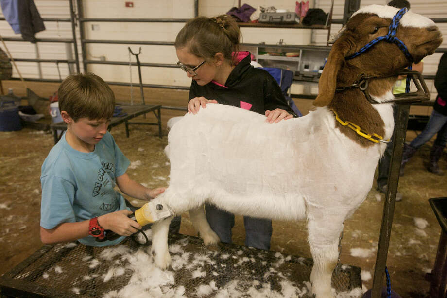 Gage Hale and Paije Mulkey trim their goat during check in for the Midland County Livestock Show on Wednesday, Jan. 13, 2016, at Midland County Hoseshoe Arena. James Durbin/Reporter-Telegram Photo: James Durbin
