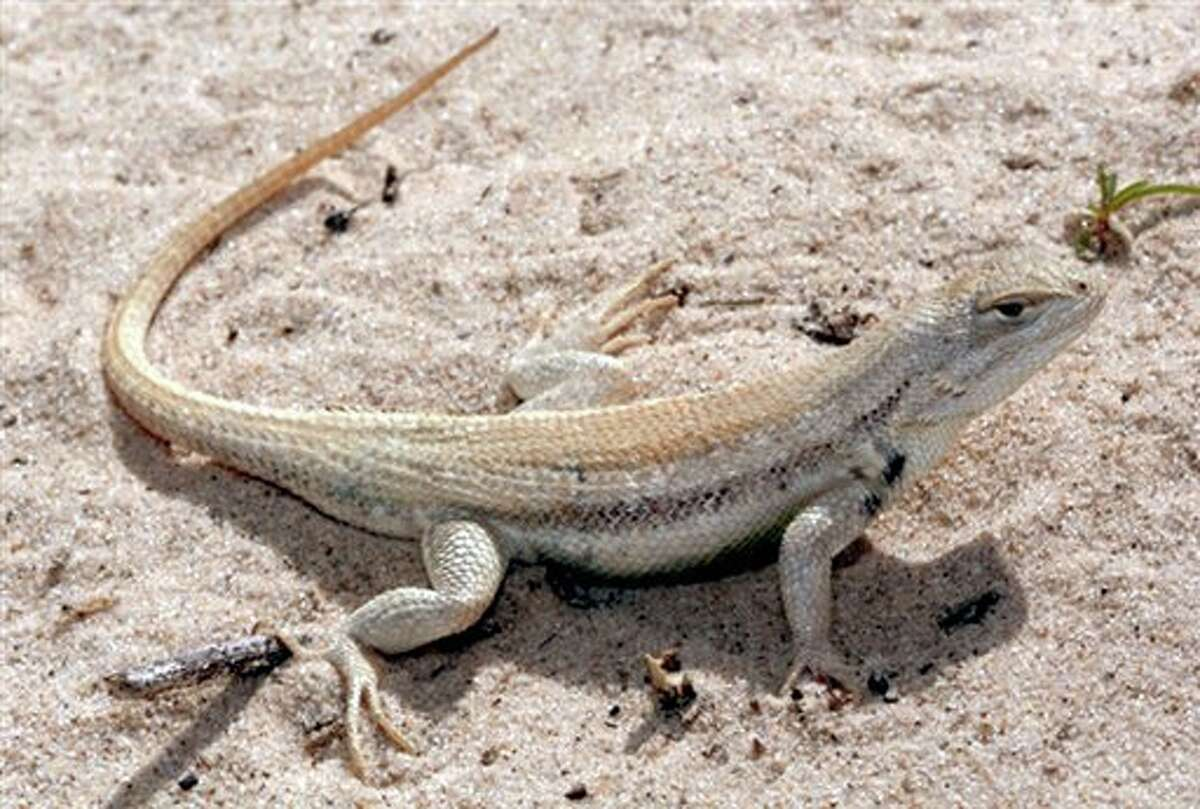 File-This undated file photo provided by the U.S. Fish and Wildlife Service shows a sand dune lizard in Chaves County, N.M. A contentious battle over the rare lizard found only in New Mexico and West Texas' oil and gas country has taken a surprising turn with federal officials deciding not to bestow endangered species protections on the small reptile. The decision was being announced Wednesday, June 13, 2012 in Washington, D.C., by U.S. Interior Secretary Ken Salazar and the head of the U.S. Fish and Wildlife Service. (AP Photo/U.S. Fish and Wildlife Service,File)